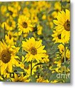 Blooming Sunflower Metal Print