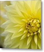 Blooming Yellow Petals Metal Print