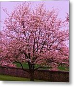 Blossoming Almond Tree  Metal Print
