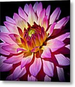 Blossoming Flower Metal Print