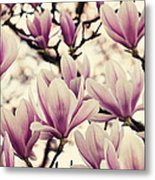 Blossoming Of Magnolia Flowers In Spring Time Metal Print