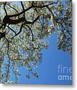 Blossoming White Magnolia Tree Against Blue Sky Metal Print