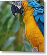 Blue And Gold Macaw Metal Print