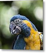 Blue And Gold Macaw V5 Metal Print