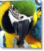 Blue And Gold Macaw With A Peanut Metal Print