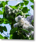 Blue And White Lilacs Metal Print