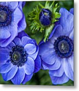 Blue Anemones. Flowers Of Holland Metal Print