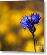 Blue Bachelor Button On Gold Metal Print