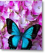 Blue Butterfly On Pink Hydrangea Metal Print