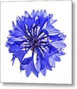 Blue Cornflower Flower Metal Print