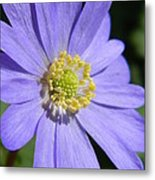 Blue Daisy Up Close Metal Print