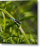 Blue Damsel Dragon Fly Metal Print
