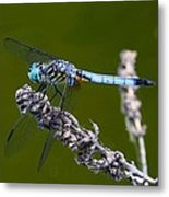 Blue Darter Metal Print