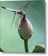 Blue Dragonflies Love Lotus Buds Metal Print by Sabrina L Ryan