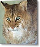Blue Eyed Bobcat Metal Print by Jennifer  King