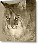 Blue Eyed Bobcat-sepia Metal Print