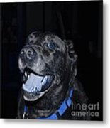 Blue Eyed Lab Smiling For The Camera Metal Print