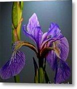 Blue Flag Iris Flower Metal Print