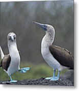 Blue-footed Booby Courtship Dance Metal Print