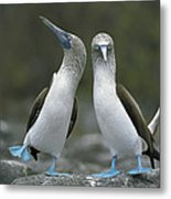 Blue Footed Booby Dancing Metal Print