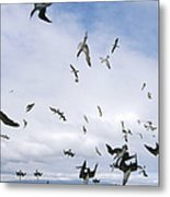 Blue-footed Booby Diving For Herring Metal Print
