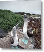 Blue-footed Booby Pair Courting Metal Print