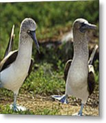 Blue-footed Booby Pair In Courtship Metal Print by Tui De Roy
