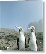 Blue-footed Booby Pair With Nesting Metal Print