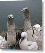 Blue-footed Booby Parents With Chick Metal Print