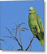 Blue-fronted Parrot Emas National Park Metal Print