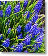 Blue Grape Hyacinth Metal Print