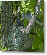 Blue-gray Gnatcatcher Nest Dsb261 Metal Print