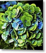 Blue Green Hydrangea Metal Print