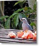 Blue-grey Tanager 1 Metal Print