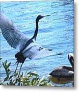Blue Heron And Pelican Metal Print