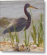 Blue Heron On Oyster Shell Beach Metal Print