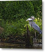 Blue Heron With A Fish-signed Metal Print