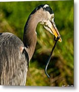 Blue Heron With A Snake In Its Bill Metal Print