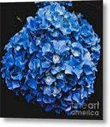 Blue Hydrangea 1 Metal Print