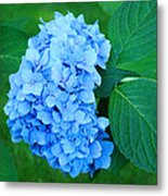 Blue Hydrangea Flower Art Prints Nature Floral Metal Print