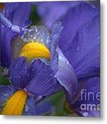 Blue Iris Close Up Metal Print