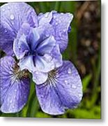 Blue Iris Flower Raindrops Garden Virginia Metal Print