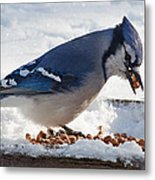 Blue Jay Chow-down Metal Print