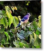 Blue Jay In A Tree Metal Print