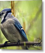 Blue Jay On A Misty Spring Day Metal Print
