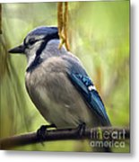 Blue Jay On A Misty Spring Day - Square Format Metal Print