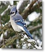 Blue Jay On Hemlock Metal Print