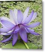 Blue Lotus Seen From Behind Metal Print