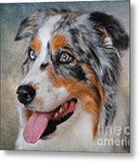 Blue Merle Australian Shepherd Metal Print