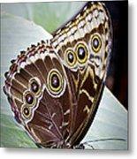 Blue Morpho Butterfly Costa Rica Metal Print